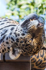 Preview iPhone wallpaper Sleep, jaguar, wild cat, predator, face