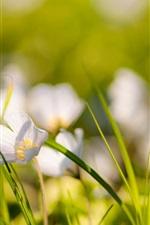 White flowers, grass, bokeh