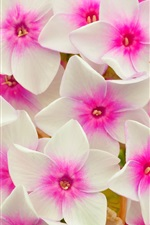 Preview iPhone wallpaper White pink flowers, petals, macro