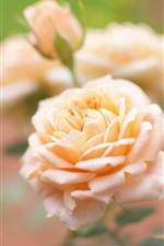 Preview iPhone wallpaper Yellow rose, flower macro