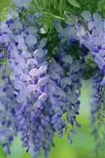 Preview iPhone wallpaper Blue flowers, wisteria