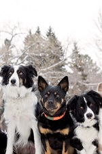 Preview iPhone wallpaper Border collie, Welsh Corgi, seven dogs