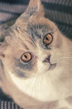 Preview iPhone wallpaper British Shorthair, look up, kitten