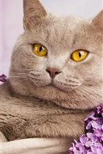 Preview iPhone wallpaper British shorthair, yellow eyes, portrait, flowers