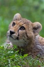 Preview iPhone wallpaper Cheetah, wild cat, predator, grass