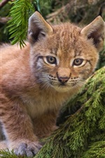 Preview iPhone wallpaper Cute lynx, forest, cat