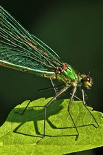 Preview iPhone wallpaper Dragonfly, insect, green leaf