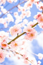 Flowers, bloom, spring, pink plum