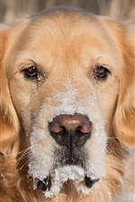 Preview iPhone wallpaper Golden retriever, dog, eyes, snow