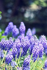 Grape hyacinth flowers, blue, forest, trees