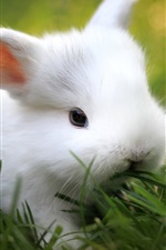 Grama verde, coelho branco bonito