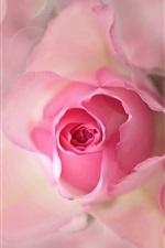 미리보기 iPhone 배경 화면 핑크 꽃, 장미, 꽃 봉오리, 꽃잎, 플레어