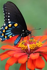 Preview iPhone wallpaper Red flower, petals, black wings butterfly