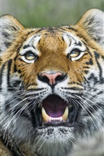 Preview iPhone wallpaper Tiger, big cat, eyes, fangs
