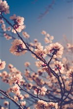 Preview iPhone wallpaper White plum flowers, branches, buds, bokeh