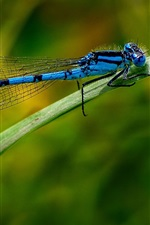 Blue dragonfly, insect, leaf