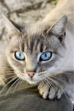Preview iPhone wallpaper Blue eyes cat, legs
