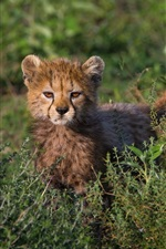 Preview iPhone wallpaper Cute cheetah cub, grass, bushes