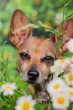 Preview iPhone wallpaper Dog, daisies, flowers