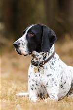 Preview iPhone wallpaper Dog, dalmatians, ground
