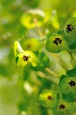 Preview iPhone wallpaper Euphorbia, plants, green flowers