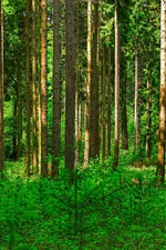 Preview iPhone wallpaper Forest, trees, green shrubs, pine trunk