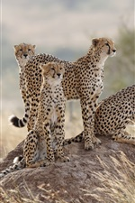 Preview iPhone wallpaper Four cheetah, family, grass