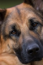 Preview iPhone wallpaper German shepherd, dog, face, portrait