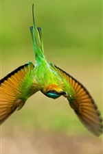Green hummingbird, flight, wings