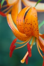 Preview iPhone wallpaper Orange lily, bud, petals, macro photography