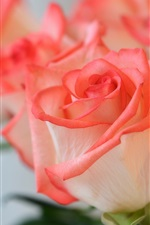 Preview iPhone wallpaper Pink flowers, roses, petals