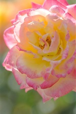 Preview iPhone wallpaper Pink yellow flower, rose, petals, macro photography