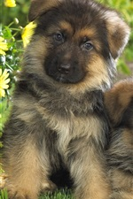 Preview iPhone wallpaper Puppies, German shepherd, two dogs