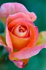 Rose flores, pétalas close-up