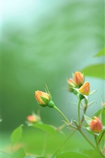 Preview iPhone wallpaper Rose, orange buds, green, blur