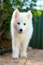 Preview iPhone wallpaper Samoyed puppy, white dog