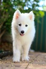미리보기 iPhone 배경 화면 사모예드 강아지, 흰색 개