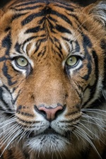 Preview iPhone wallpaper Tiger, portrait, predator, face, black background