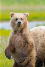 Preview iPhone wallpaper Alaska, two bears, grass