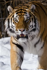 Preview iPhone wallpaper Amur tiger, snow, winter