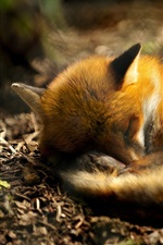 Animal close-up, fox curled up to sleeping