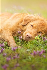 Preview iPhone wallpaper Brown color dog, lying grass, flowers