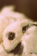 Cute Shih Tzu, dog lying