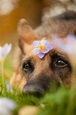 Dog, head, eyes, look, flowers
