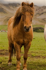 Preview iPhone wallpaper Iceland, two horses