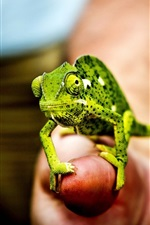 Preview iPhone wallpaper Little green chameleon, hand, fingers
