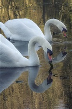 Preview iPhone wallpaper Pond, white swans