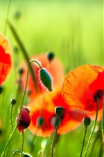 Preview iPhone wallpaper Red flowers, poppies, grass, green
