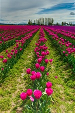 Preview iPhone wallpaper Red tulip flowers field, sky, clouds