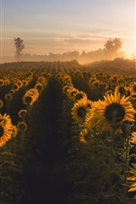 Preview iPhone wallpaper Sunflowers, morning, fog, sunrise